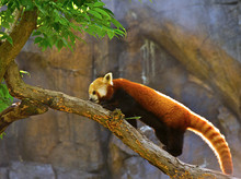 The Red Panda (Ailurus Fulgens) On A Tree Limb.