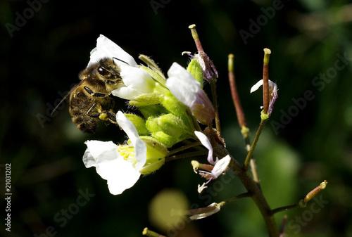 Papiers peints Narcisse abeille butinant
