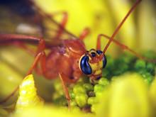 Ophion (Family Ichneumonidae)