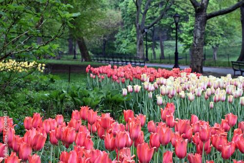 Naklejki tulipany wiosenne-tulipany-w-deszczu