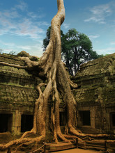 Giant Trees Over Ta Prohm Temp...