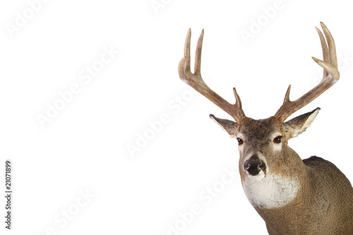 Recess Fitting Deer Large whitetail buck isolated on white background
