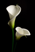 A Couple Of White Calla Lily On A Black Background