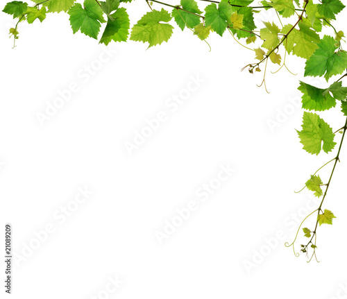 Cuadros en Lienzo  Fresh grapevine border, isolated
