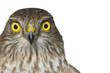 canvas print picture - Sperber Portrait (Accipiter nisus)