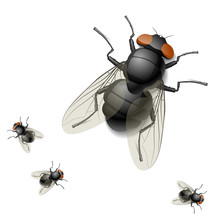 Housefly. Detailed Vector Illu...