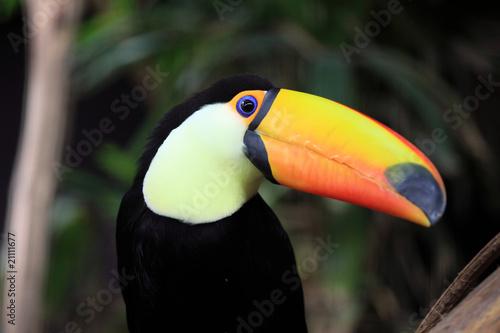 In de dag Toekan toucan toco