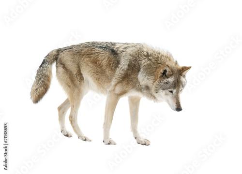Foto op Aluminium Wolf Big wolf isolated on white background