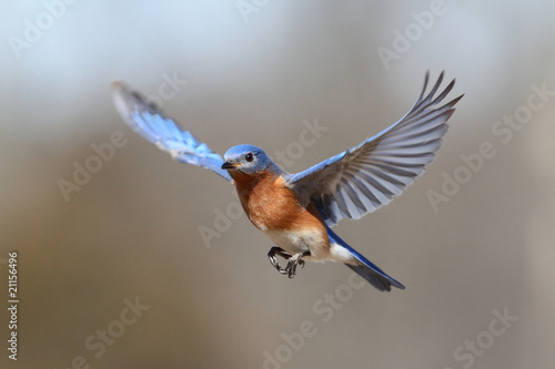 Aufkleber - Bluebird In Flight
