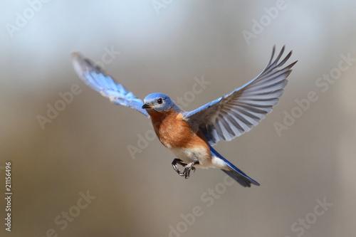 Bluebird In Flight Fototapet