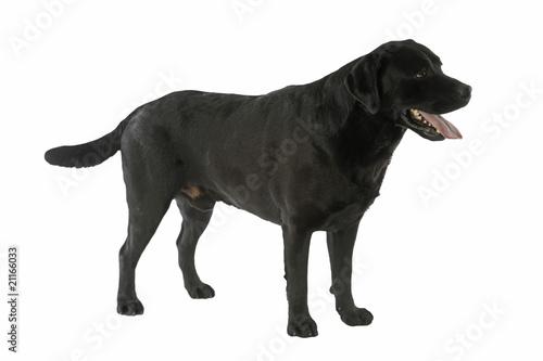 Photo  puissant labrador adulte noir de trois quart immobile