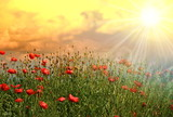 Fototapeta Kwiaty - Łąka maków zachód