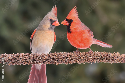 Pair of Northern Cardinals Poster Mural XXL