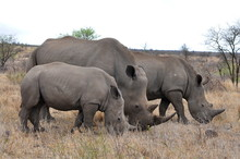 Rhino Family With 2 Calf,Kruge...
