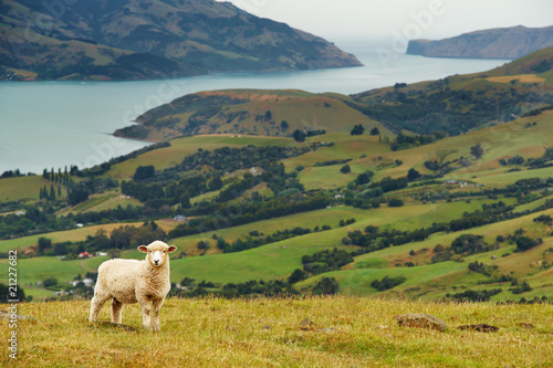 Cadres-photo bureau Sheep New Zealand landscape, Banks Peninsula