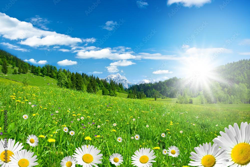 Fototapeta Frühling in den Alpen mit Margeriten und Blumenwiese