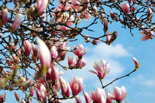 Flowering magnolia tree against a cloudy blue sky Poster