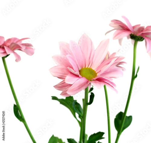 Foto op Aluminium Gerbera pink chrysanthemums isolated on white