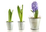 Purple hyacinth in garden pots on white