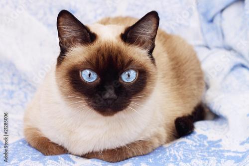 Obraz na plátně Siamese cat on a blue background