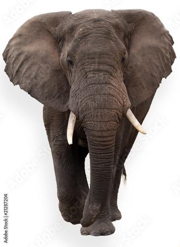 elefante aislado