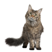 Front View Of Maine Coon, Standing In Front Of White Background