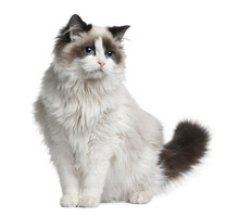 Front View Of Ragdoll Cat, Sit...