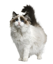 Front View Of Ragdoll Cat, Standing In Front Of White Background