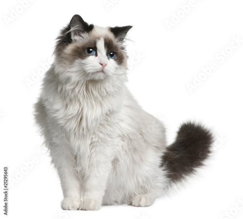 Front view of Ragdoll cat, sitting and looking away Canvas-taulu