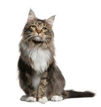 Front View Of Maine Coon, Sitting In Front Of White Background