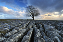 Lone Tree On Limestone Pavement