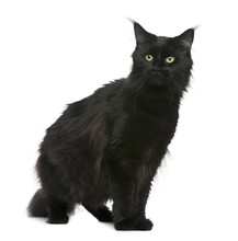 Front View Of Maine Coon, 3 Years Old, Sitting And Looking Away
