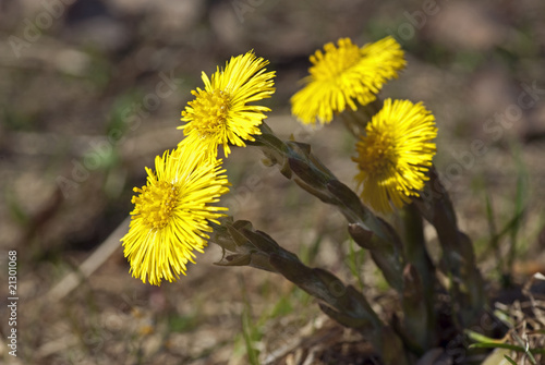 Coltsfoot Canvas-taulu