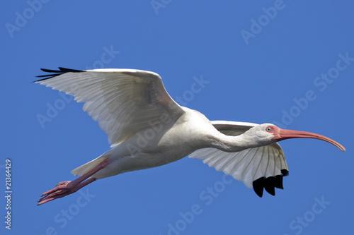 Photo  american white ibis, eudocimus albus