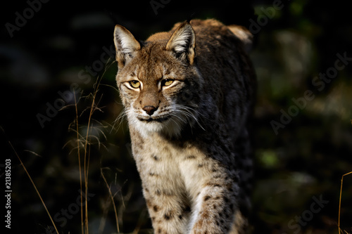 Foto auf Leinwand Luchs lynx lynx