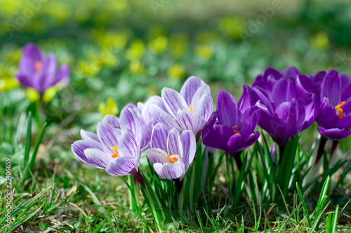 Door stickers Crocuses Krokus