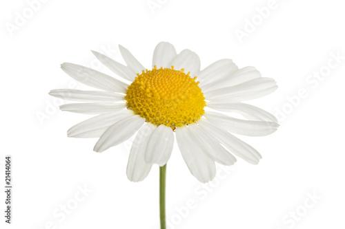 In de dag Madeliefjes chamomole flower isolated