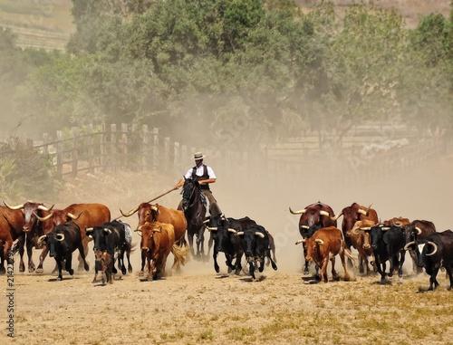 La pose en embrasure Vache Ganaderia de toros bravos