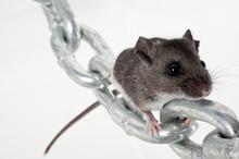Deer Mouse Climbing Toward Viewer On Chain