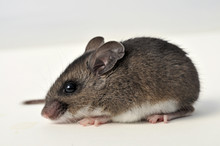 Deer Mouse At A Side Angle On White Background
