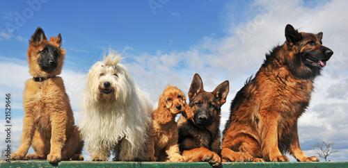 cinq chiens © cynoclub