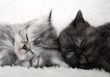 canvas print picture Two sleeping kittens