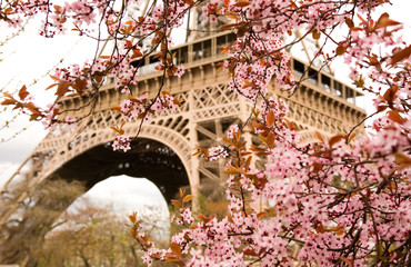 FototapetaSpring in Paris. Bloomy cherry tree and the Eiffel Tower