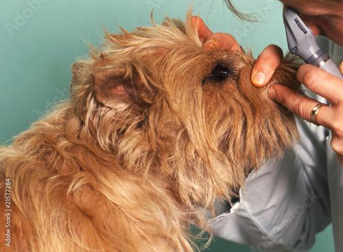 Foto  examen des yeux du chien chez le vétérinaire