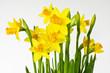 canvas print picture - Osterglocke, Daffodil
