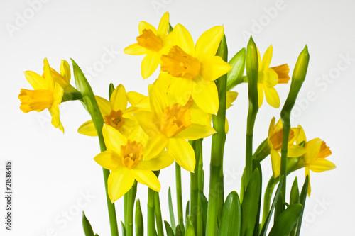 Spoed Foto op Canvas Narcis Osterglocke, Daffodil