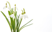 Snowdrops (Galanthus Nivalis) ...