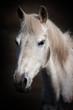 cheval blanc portrait crinière hippique manège cercle haras