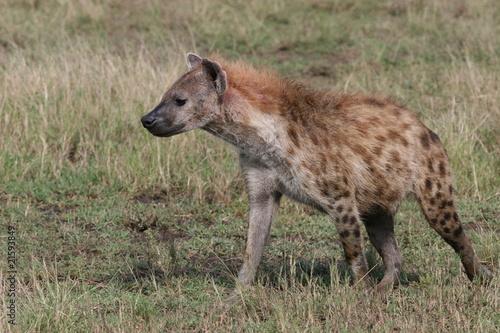 In de dag Hyena Hyena walking in the gras of Masai Mara National Park