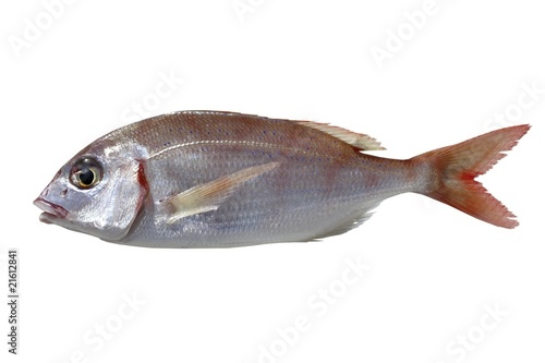 Photo  common pandora fish pagellus erythrinus
